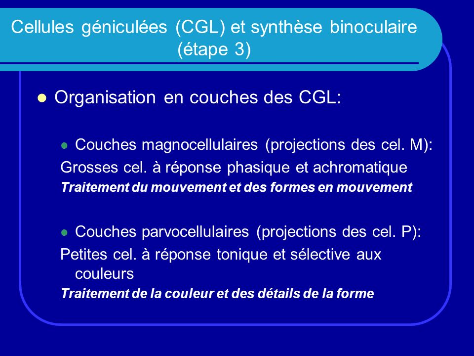 Cellules géniculées (CGL) et synthèse binoculaire (étape 3) Organisation en couches des CGL: Couches magnocellulaires (projections des cel. M): Grosse