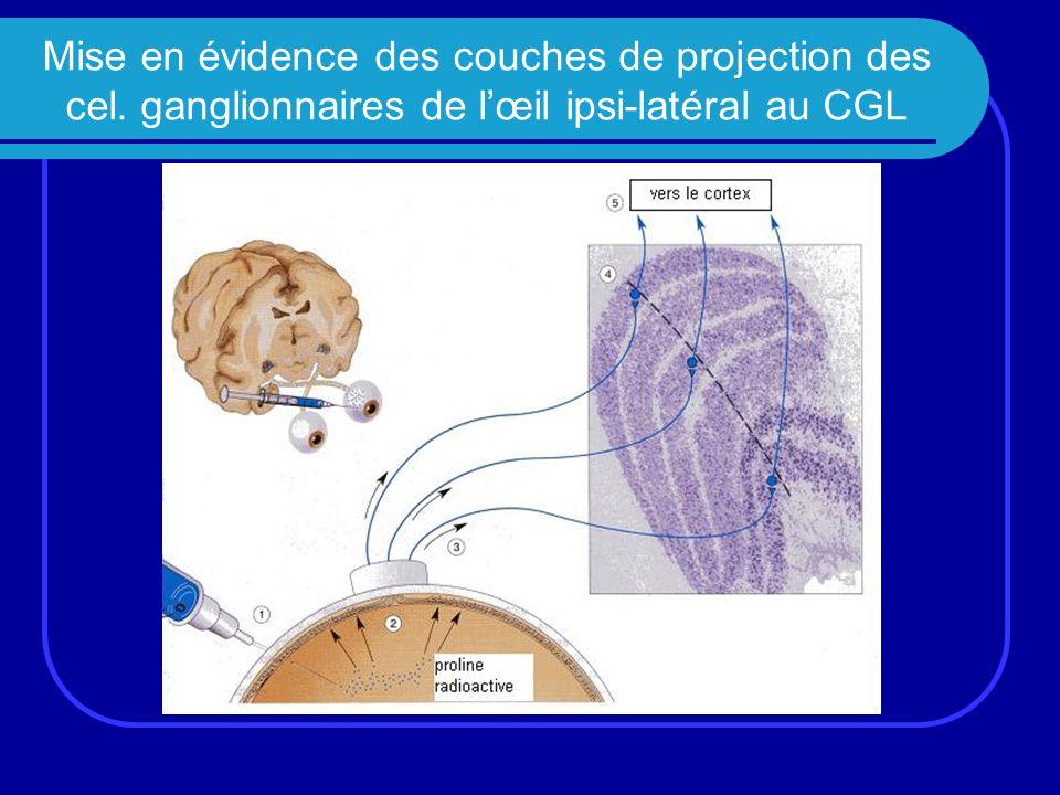 Mise en évidence des couches de projection des cel. ganglionnaires de lœil ipsi-latéral au CGL