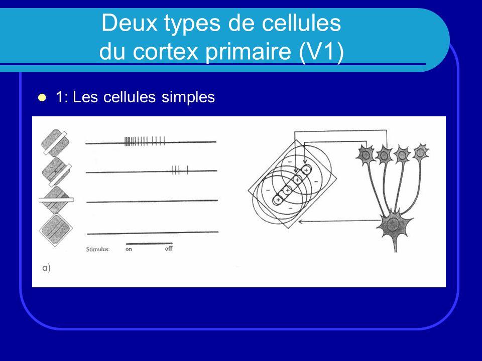 Deux types de cellules du cortex primaire (V1) 1: Les cellules simples