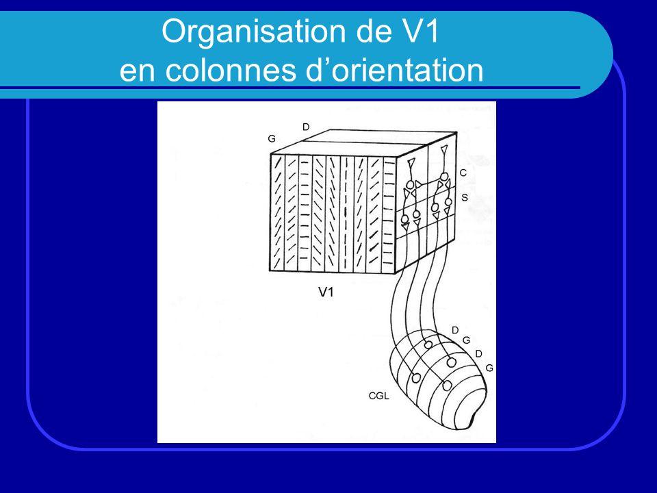 Organisation de V1 en colonnes dorientation