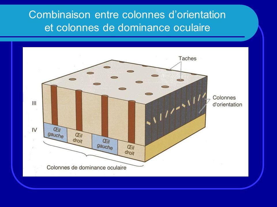 Combinaison entre colonnes dorientation et colonnes de dominance oculaire