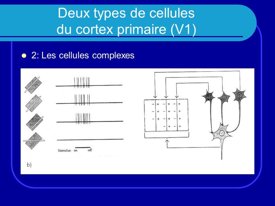 Deux types de cellules du cortex primaire (V1) 2: Les cellules complexes
