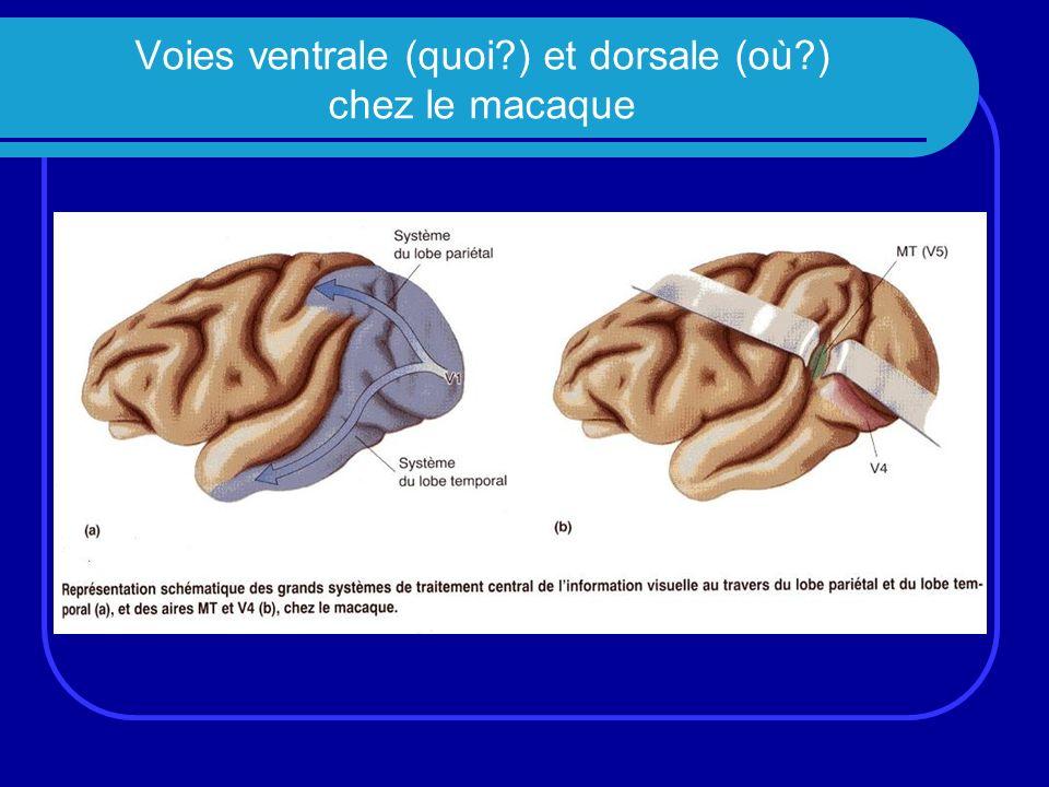 Voies ventrale (quoi?) et dorsale (où?) chez le macaque