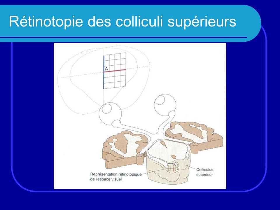 Grandes étapes de la fonction visuelle (1) La rétine: Étape 1: photo transduction (niveau photorécepteurs) Étape 2: contraste (niveau cellules ganglionnaires) Les corps genouillés latéraux (CGL): Étape 3: synthèse binoculaire (couches parvo- et magno-cellulaires)