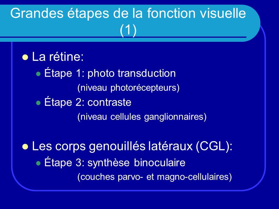 Grandes étapes de la fonction visuelle (2) Le cortex: Étape 4: lorientation Cortex visuel primaire (V1) Étape 5: forme (1) Cortex visuel secondaire (V2) Étape 6: forme (2) / couleur / mouvement Cortex visuels secondaires (V3, V4, V5)