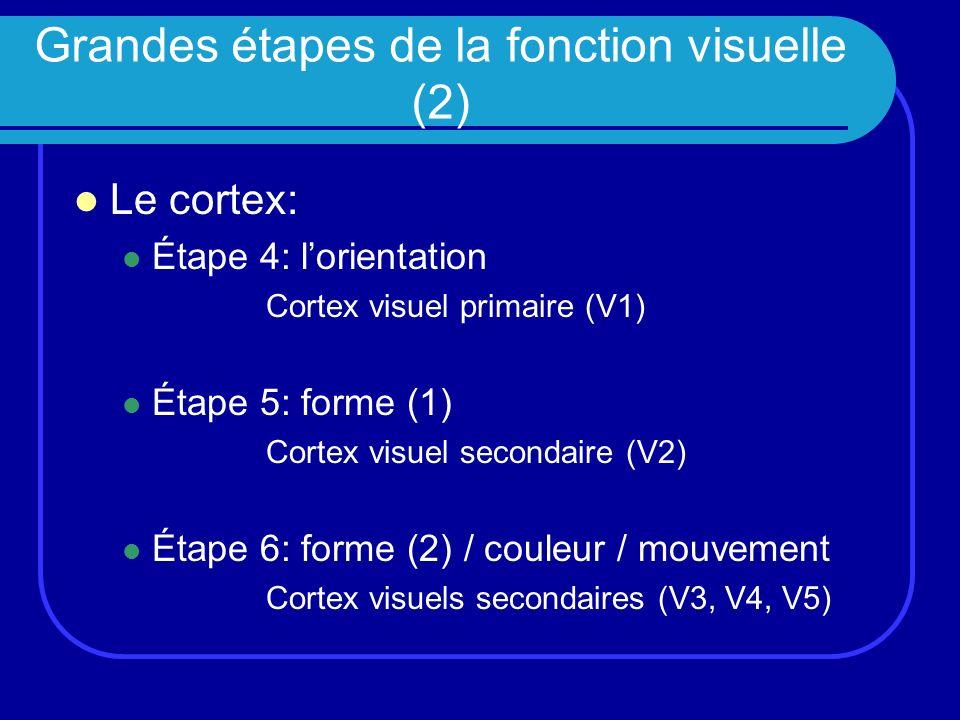 Grandes étapes de la fonction visuelle (2) Le cortex: Étape 4: lorientation Cortex visuel primaire (V1) Étape 5: forme (1) Cortex visuel secondaire (V