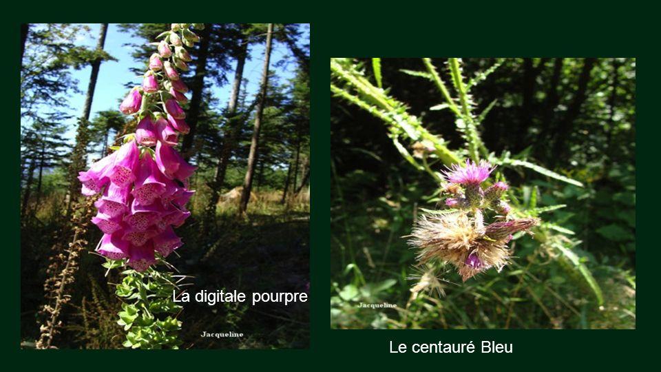 Bruyère Avec la jonquille, la myrtilles où Brimbelle est lemblèmes du massif vosgien.