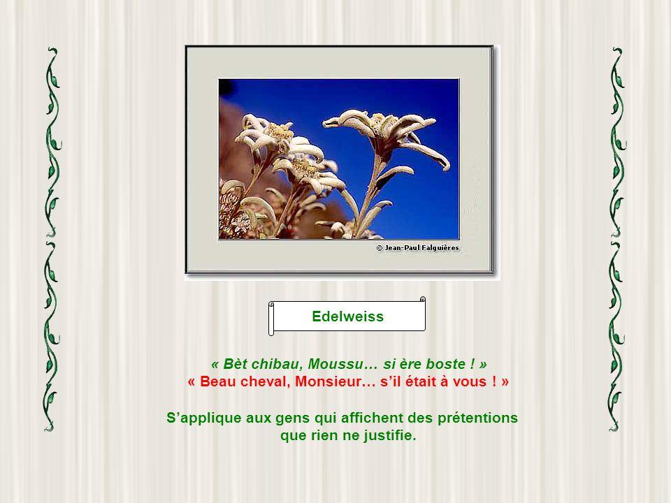 Edelweiss « Bèt chibau, Moussu… si ère boste .» « Beau cheval, Monsieur… sil était à vous .