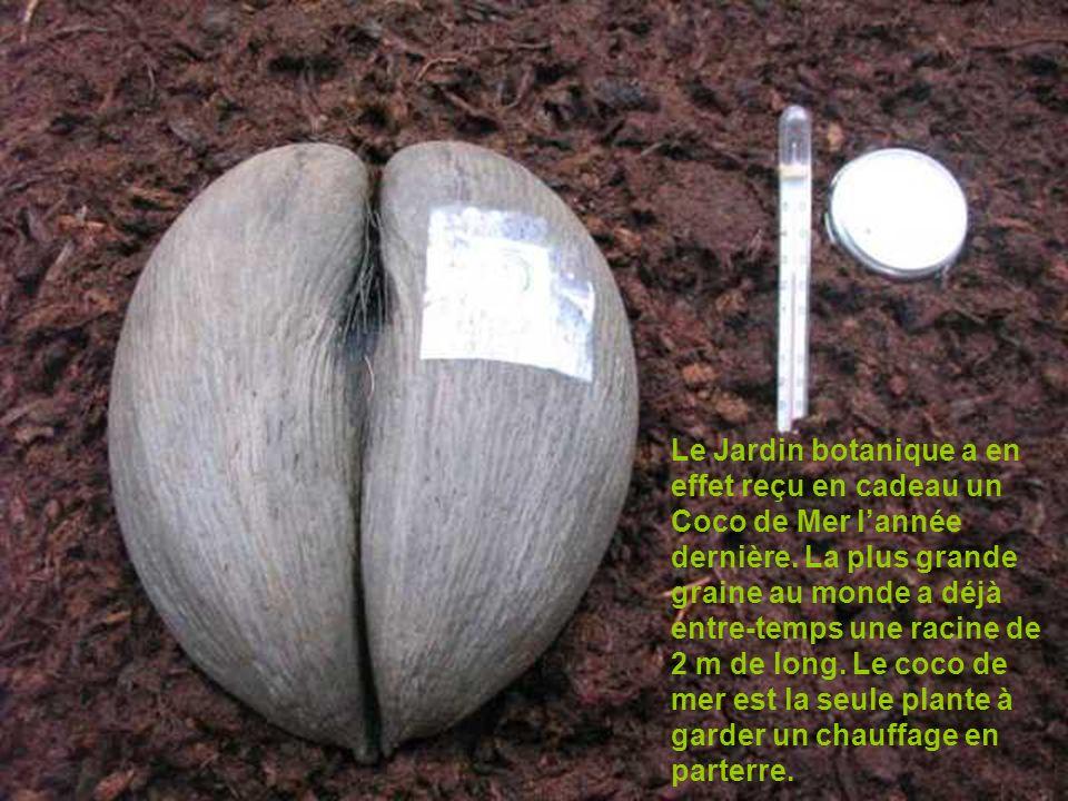 Le Jardin botanique a en effet reçu en cadeau un Coco de Mer lannée dernière. La plus grande graine au monde a déjà entre-temps une racine de 2 m de l