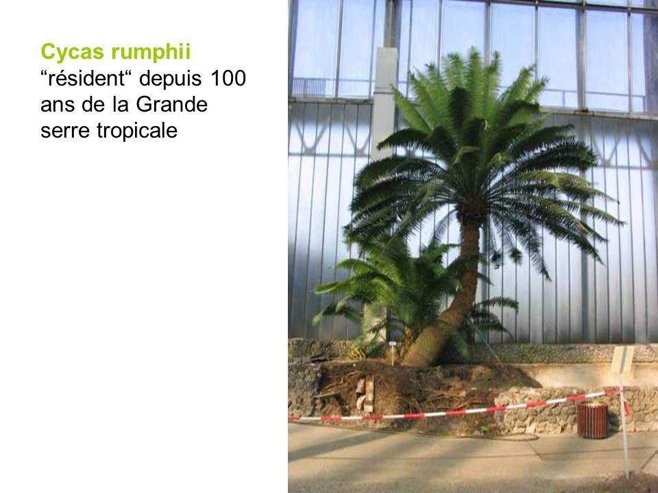 Cycas rumphii résident depuis 100 ans de la Grande serre tropicale