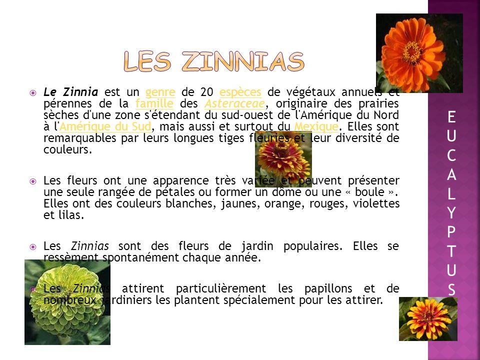 Nous avons décidé détudier la croissance des graines de Zinnias, de tomates, dœillets dinde et de piments végétariens…. EUCALYPTUSEUCALYPTUS