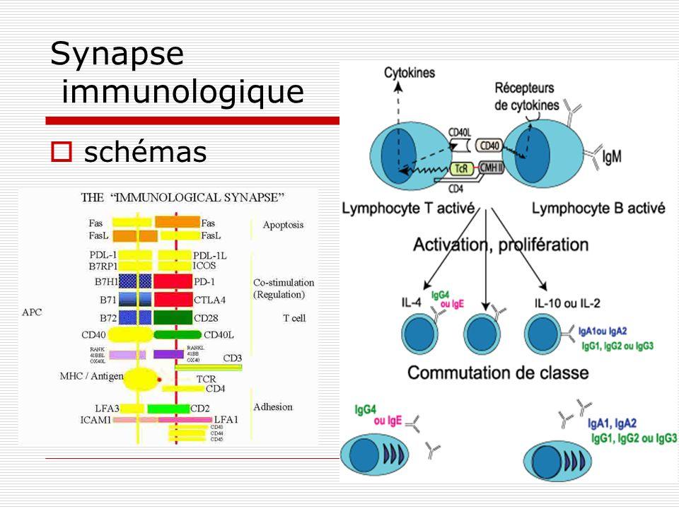 Synapse immunologique schémas