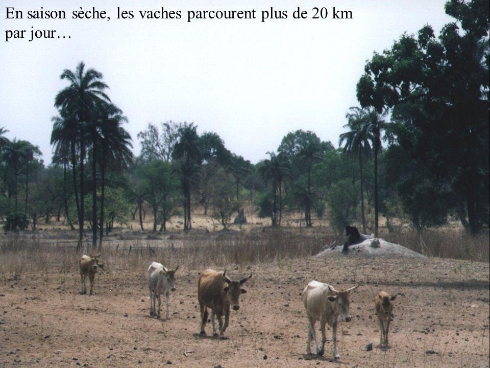En saison sèche, les vaches parcourent plus de 20 km par jour…