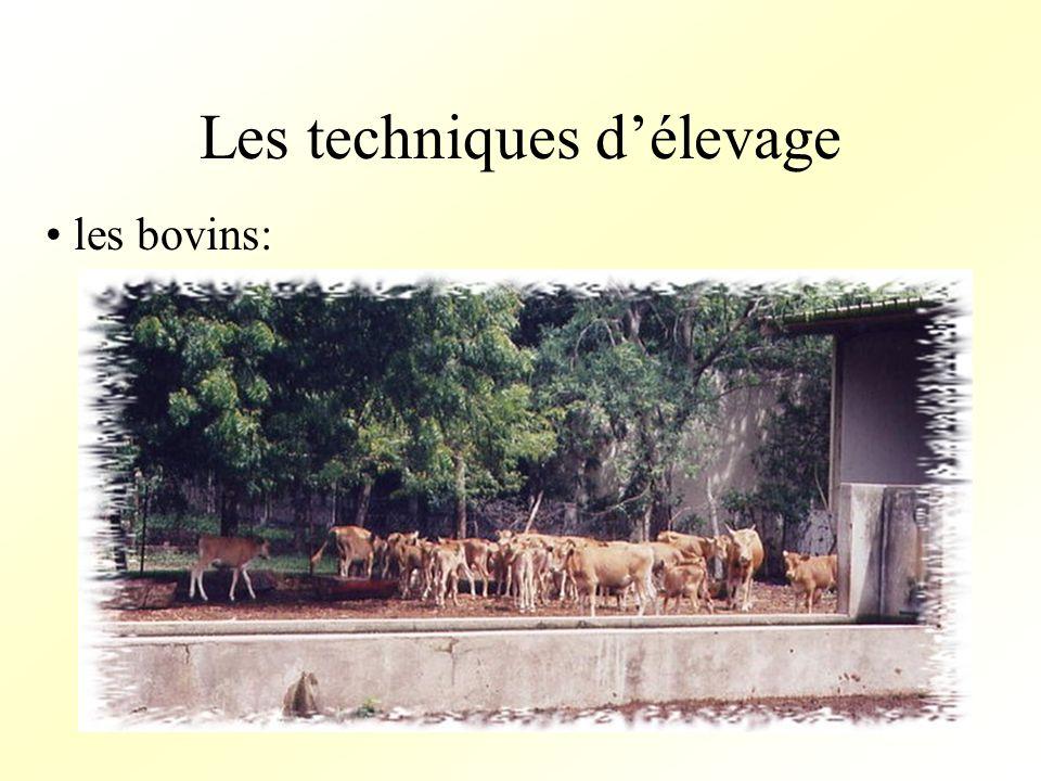 Les techniques délevage les bovins: