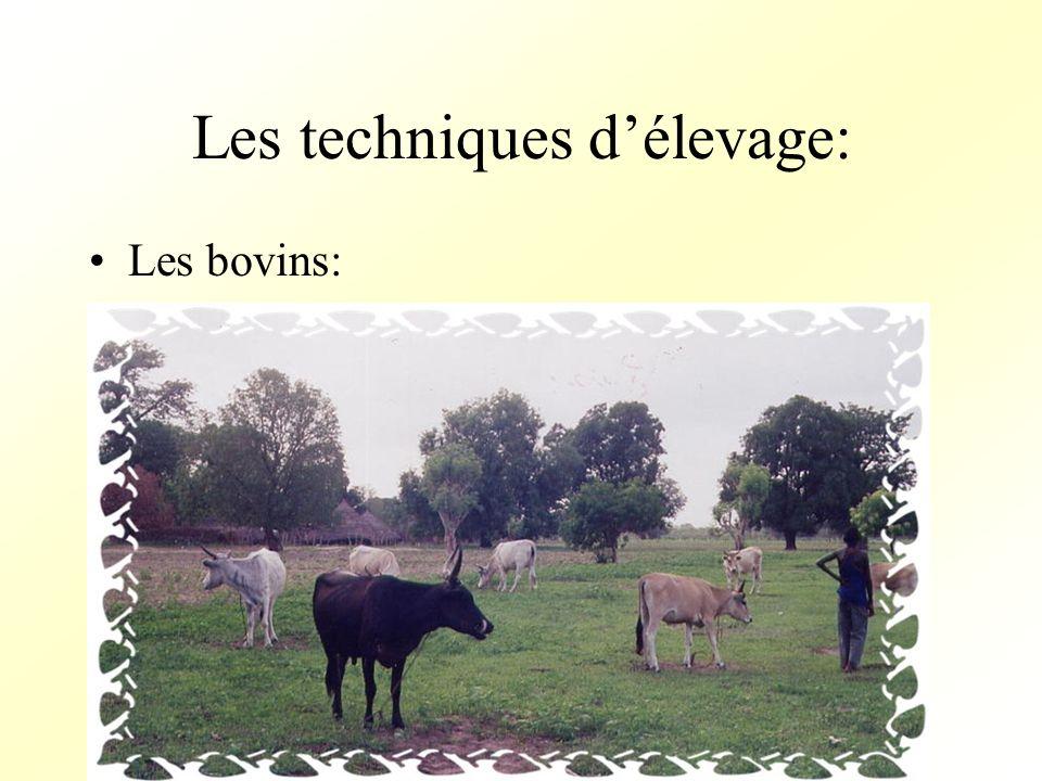 Les techniques délevage: Les bovins: