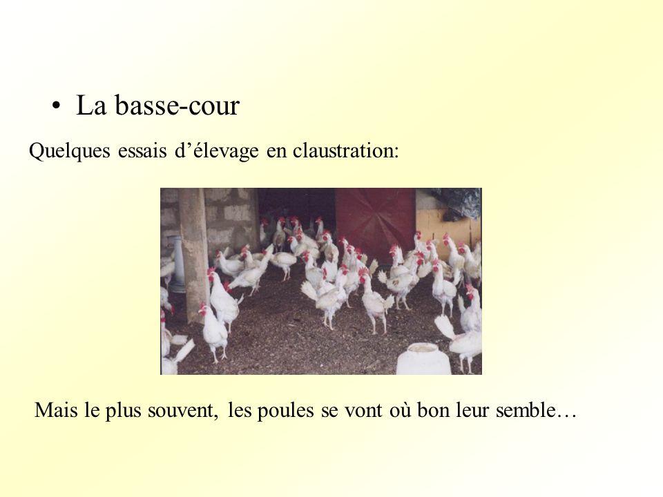 La basse-cour Quelques essais délevage en claustration: Mais le plus souvent, les poules se vont où bon leur semble…