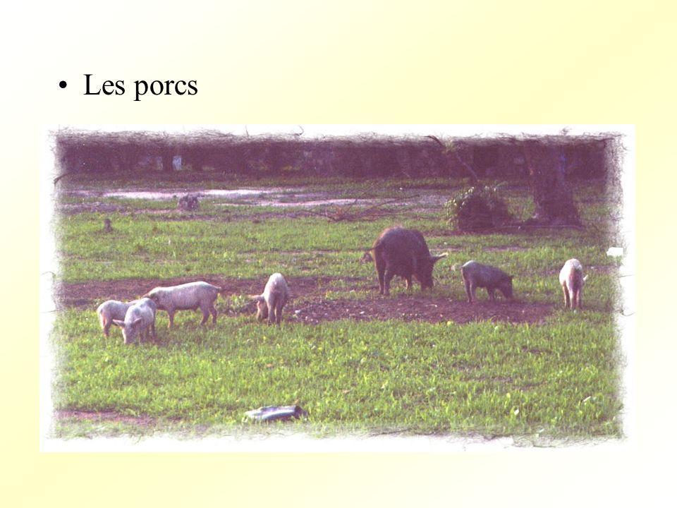 Les porcs
