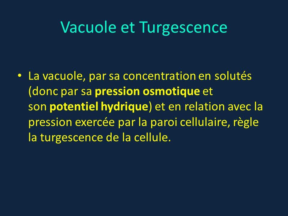 Vacuole et Turgescence La vacuole, par sa concentration en solutés (donc par sa pression osmotique et son potentiel hydrique) et en relation avec la p