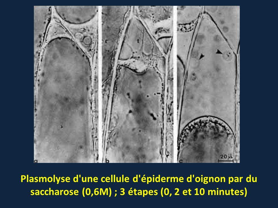 Plasmolyse d'une cellule d'épiderme d'oignon par du saccharose (0,6M) ; 3 étapes (0, 2 et 10 minutes)