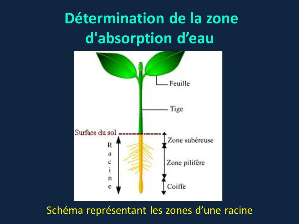 Expérience 1: la zone pilifère et lextrémité de la racine se trouvent dans l eau, la zone subéreuse est dans l huile Expérience 2: seule l extrémité de la racine plonge dans l eau (le reste de la racine dont la zone pilifère est dans l huile).