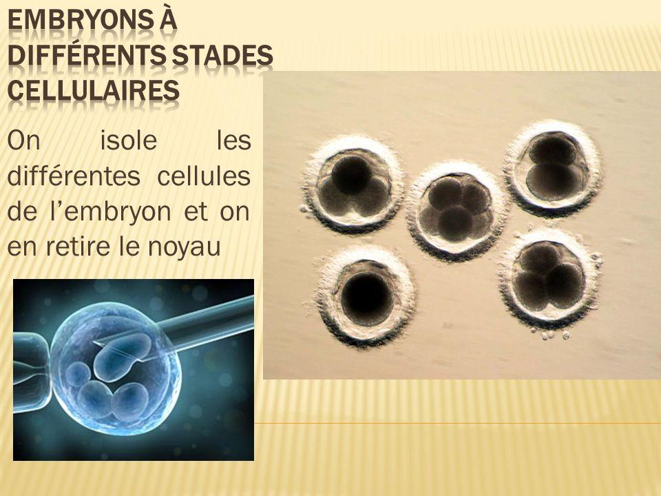 On isole les différentes cellules de lembryon et on en retire le noyau