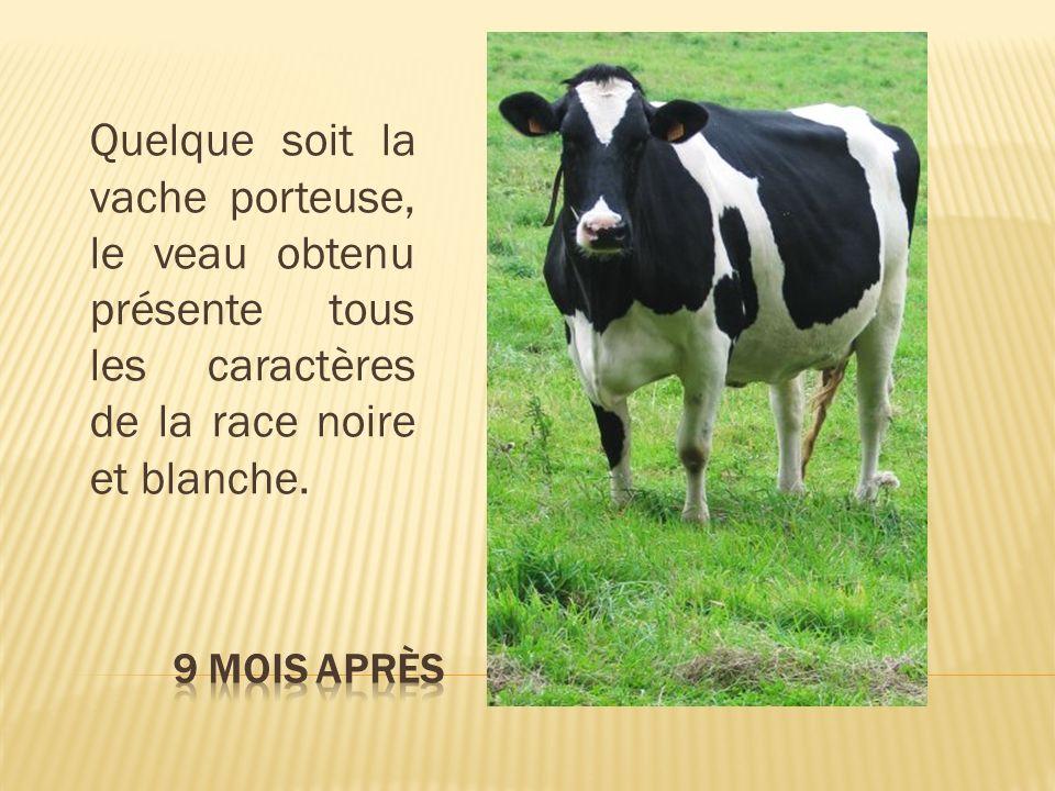 Quelque soit la vache porteuse, le veau obtenu présente tous les caractères de la race noire et blanche.