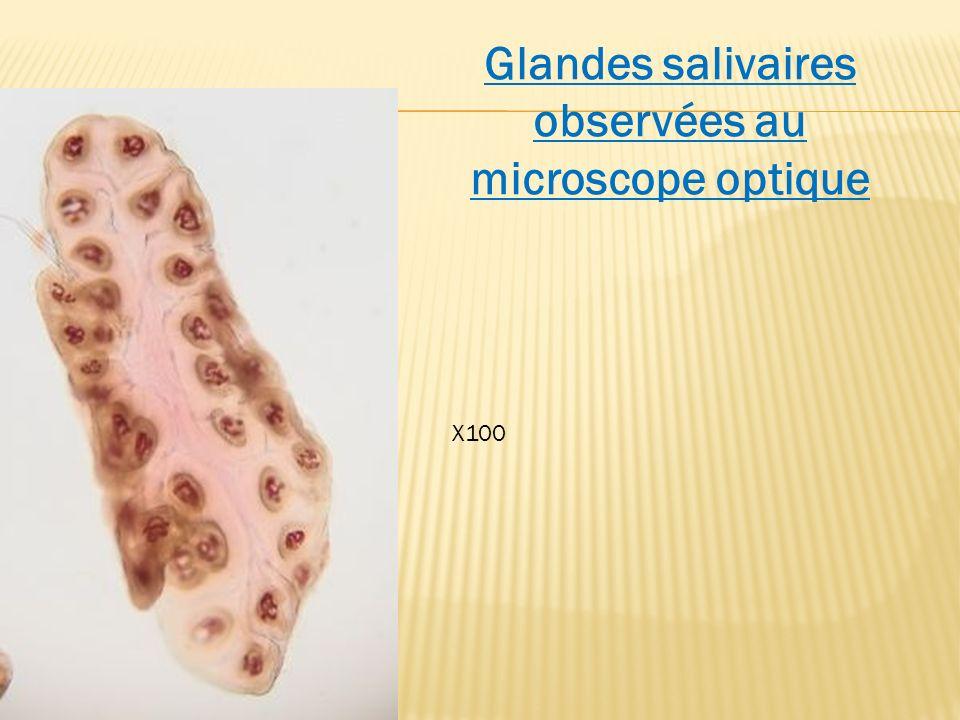 Glandes salivaires observées au microscope optique X100