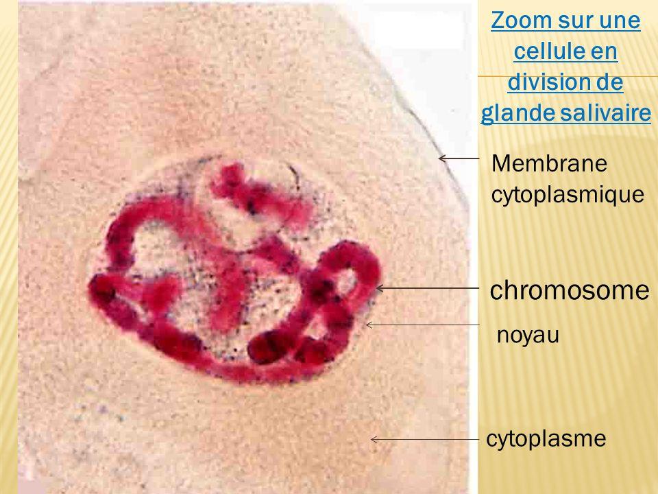 Zoom sur une cellule en division de glande salivaire Membrane cytoplasmique chromosome cytoplasme noyau