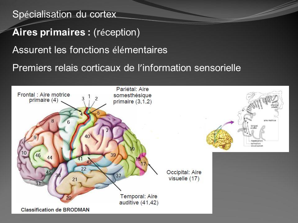 Sp é cialisation du cortex Aires primaires : (r é ception) Assurent les fonctions é l é mentaires Premiers relais corticaux de l information sensoriel