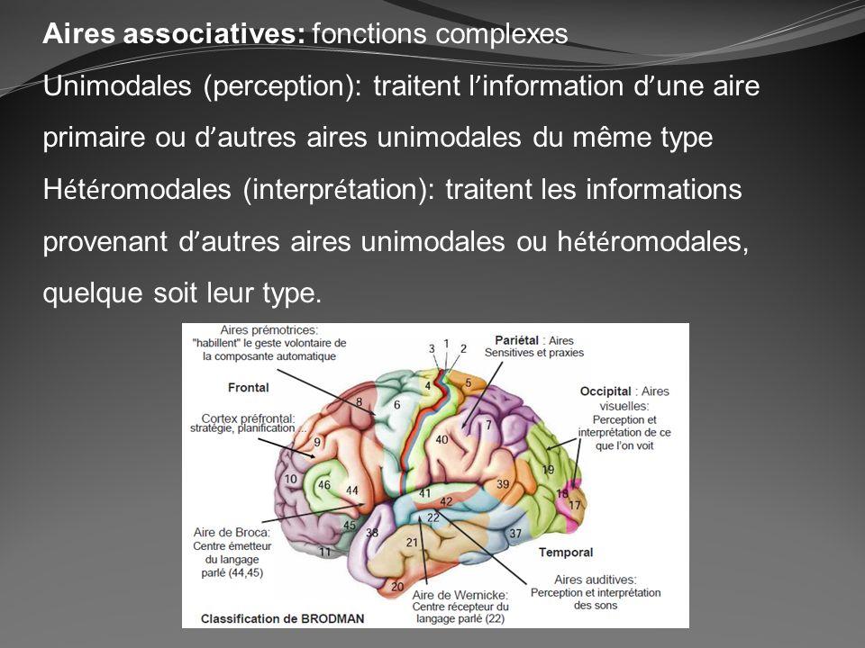 Aires associatives: fonctions complexes Unimodales (perception): traitent l information d une aire primaire ou d autres aires unimodales du même type