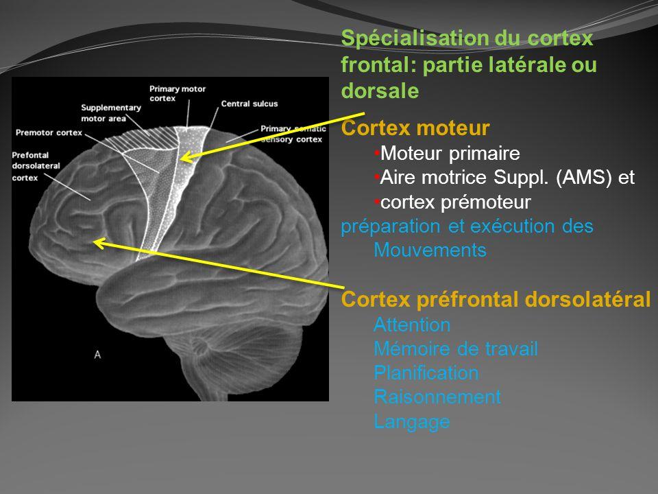 Spécialisation du cortex frontal: partie latérale ou dorsale Cortex moteur Moteur primaire Aire motrice Suppl. (AMS) et cortex prémoteur préparation e