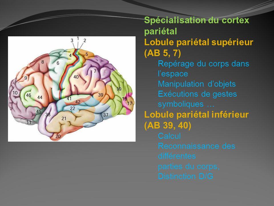 Spécialisation du cortex pariétal Lobule pariétal supérieur (AB 5, 7) Repérage du corps dans lespace Manipulation dobjets Exécutions de gestes symboli