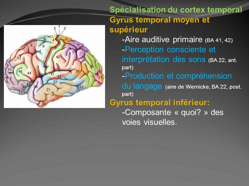 Spécialisation du cortex temporal Gyrus temporal moyen et supérieur -Aire auditive primaire (BA 41, 42) -Perception consciente et interprétation des s