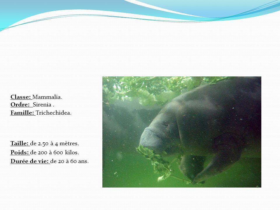 Taille: de 2.50 à 4 mètres. Poids: de 200 à 600 kilos. Durée de vie: de 20 à 60 ans. Classe: Mammalia. Ordre: Sirenia. Famille: Trichechidea.