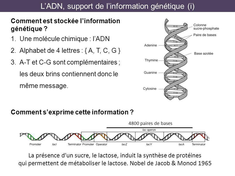 1. Une molécule chimique : lADN 2. Alphabet de 4 lettres : { A, T, C, G } 3. A-T et C-G sont complémentaires ; les deux brins contiennent donc le même