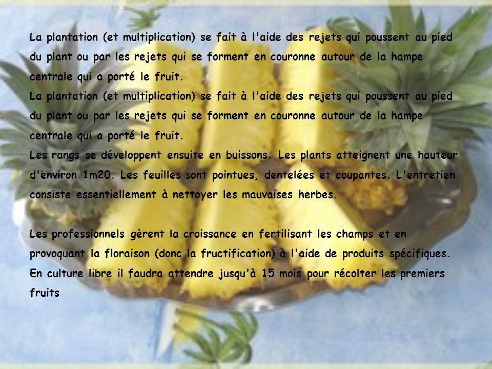 La plantation (et multiplication) se fait à l'aide des rejets qui poussent au pied du plant ou par les rejets qui se forment en couronne autour de la
