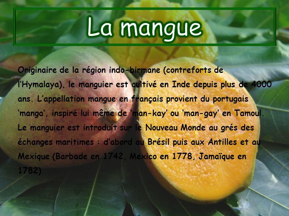 Originaire de la région indo-birmane (contreforts de lHymalaya), le manguier est cultivé en Inde depuis plus de 4000 ans. Lappellation mangue en franç