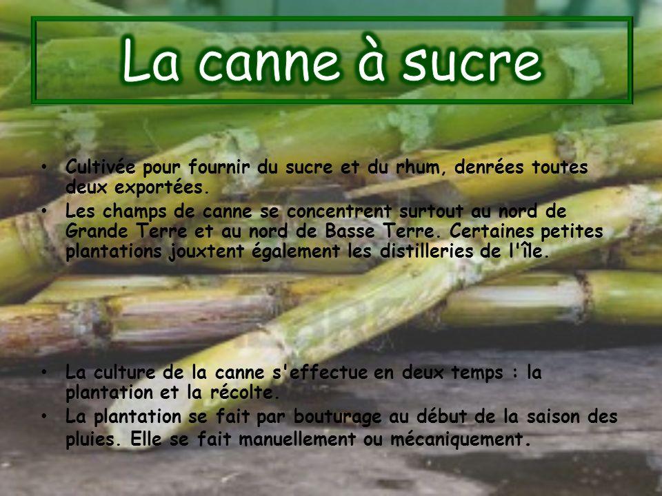 Cultivée pour fournir du sucre et du rhum, denrées toutes deux exportées. Les champs de canne se concentrent surtout au nord de Grande Terre et au nor