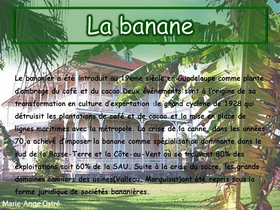 Le bananier a été introduit au 19eme siècle en Guadeloupe comme plante dombrage du café et du cacao.Deux événements sont à lorigine de sa transformati