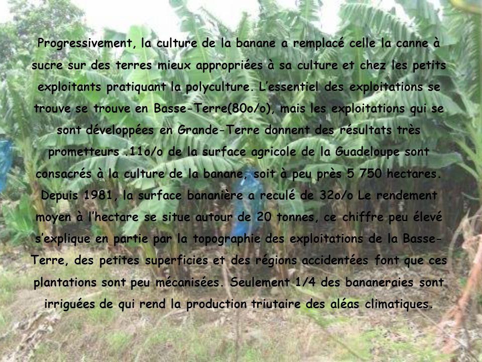 Progressivement, la culture de la banane a remplacé celle la canne à sucre sur des terres mieux appropriées à sa culture et chez les petits exploitant