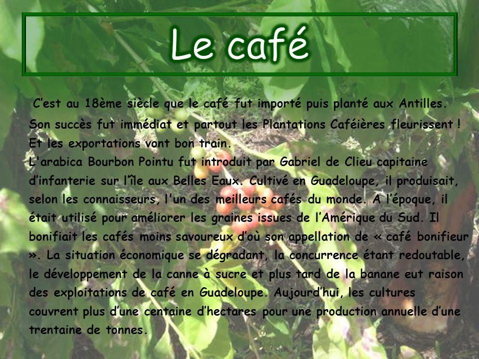 Cest au 18ème siècle que le café fut importé puis planté aux Antilles. Son succès fut immédiat et partout les Plantations Caféières fleurissent ! Et l