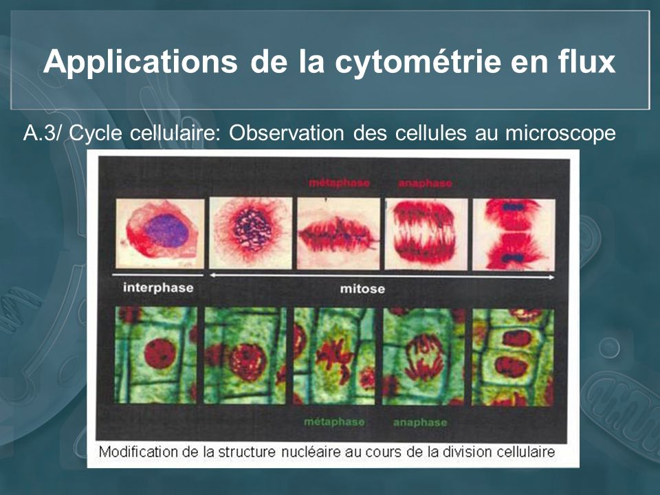 Applications de la cytométrie en flux A.3/ Cycle cellulaire: Observation des cellules au microscope