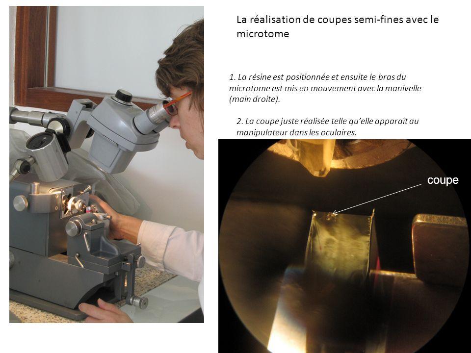 La réalisation de coupes semi-fines avec le microtome 1. La résine est positionnée et ensuite le bras du microtome est mis en mouvement avec la manive