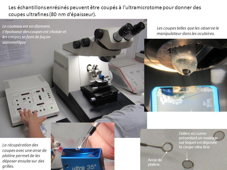 Les échantillons enrésinés peuvent être coupés à lultramicrotome pour donner des coupes ultrafines (80 nm dépaisseur). La récupération des coupes avec