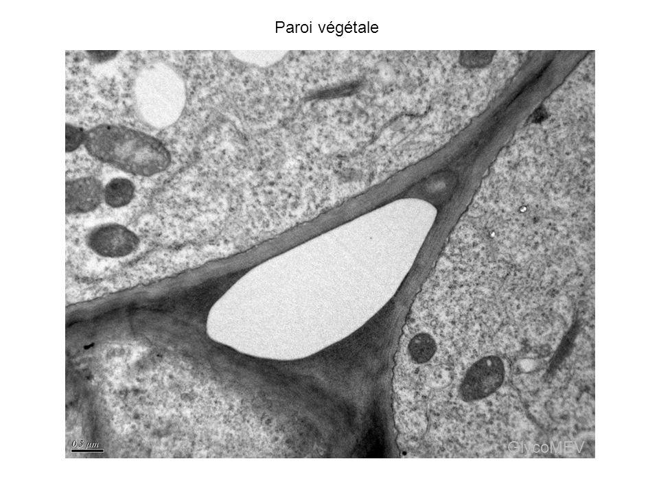 Paroi végétale GlycoMEV