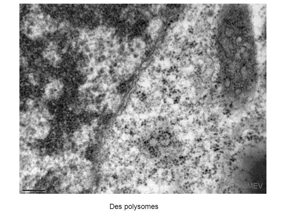 Des polysomes GlycoMEV