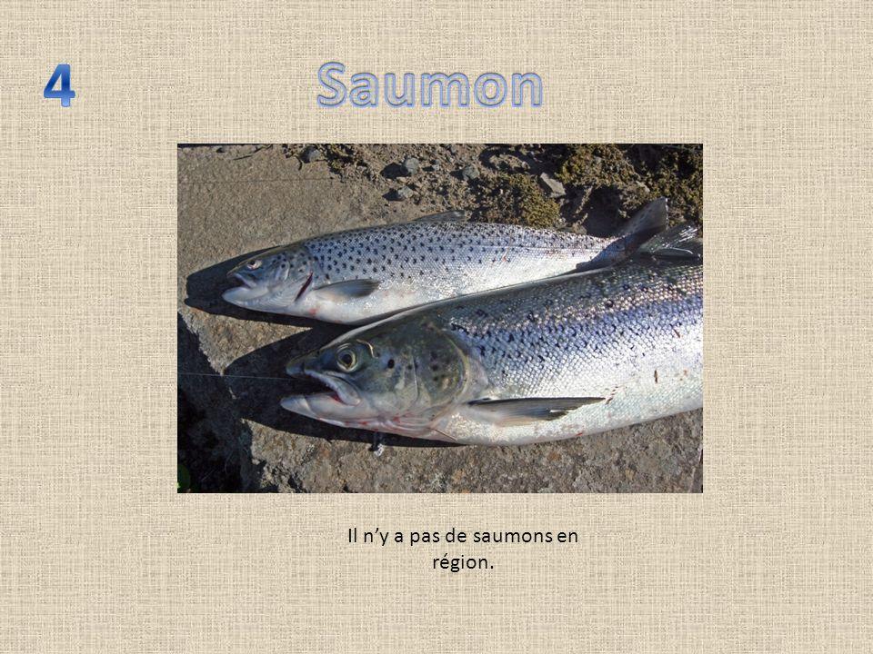 Il ny a pas de saumons en région.