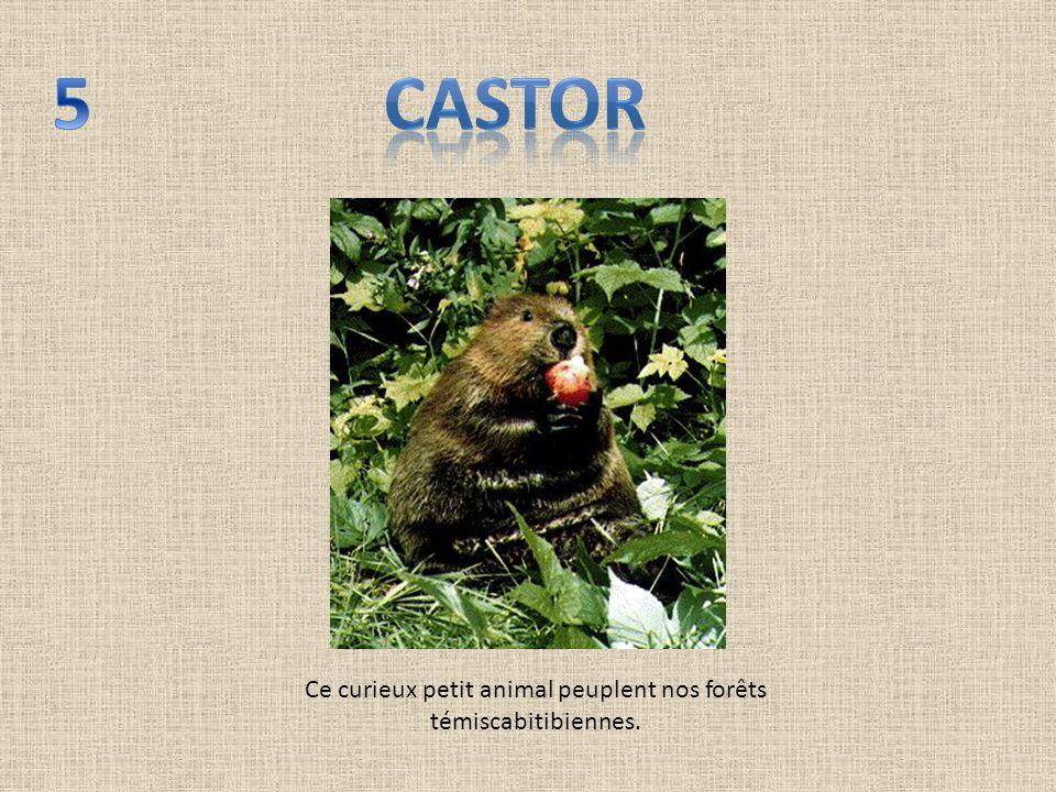 Ce curieux petit animal peuplent nos forêts témiscabitibiennes.