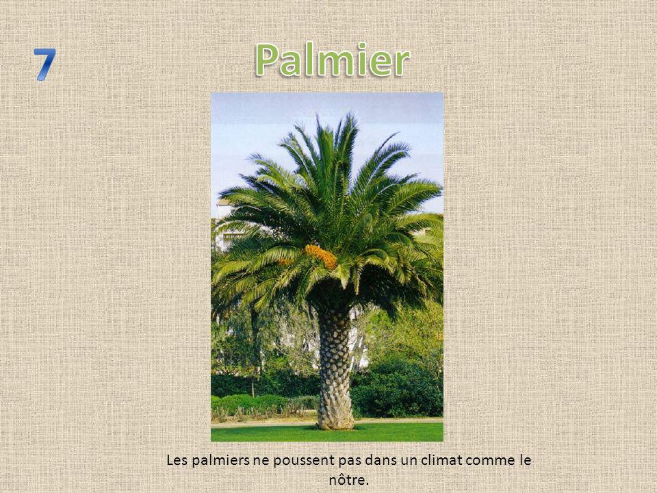 Les palmiers ne poussent pas dans un climat comme le nôtre.