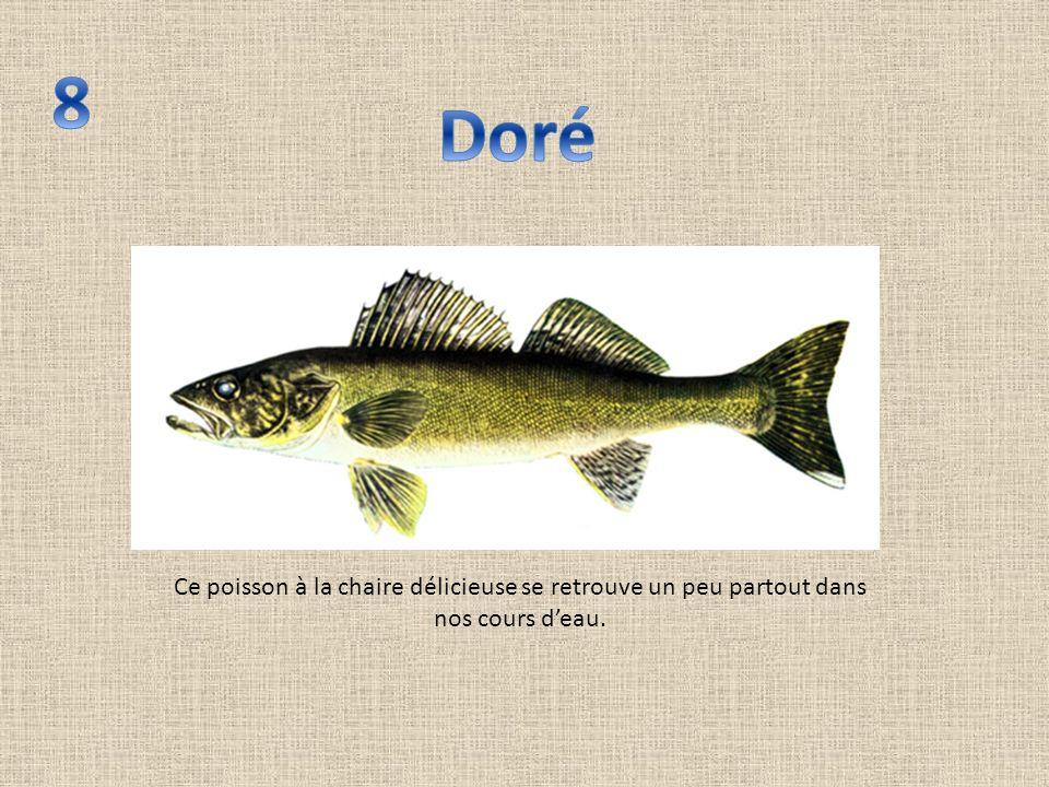 Ce poisson à la chaire délicieuse se retrouve un peu partout dans nos cours deau.